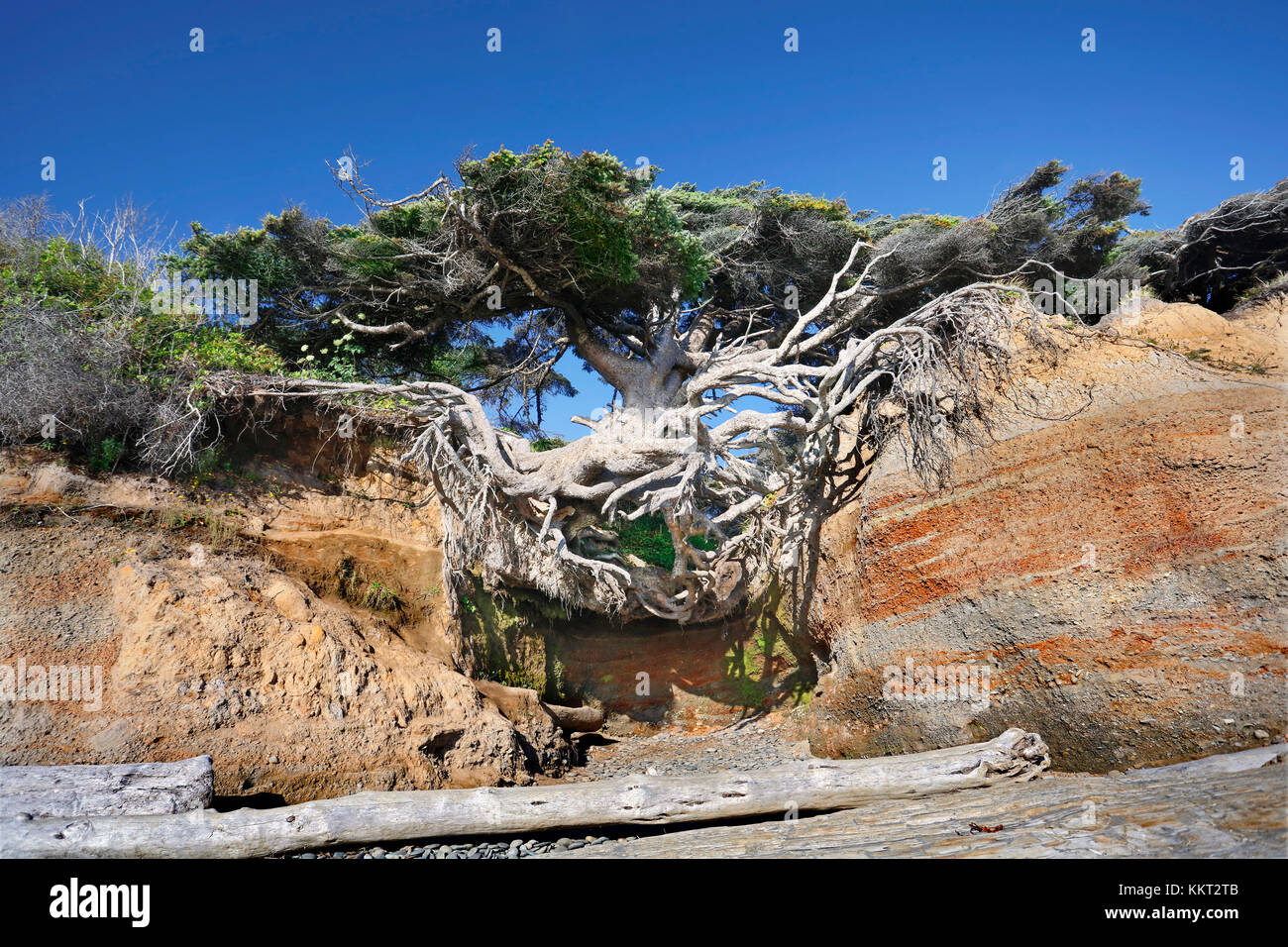 The Tree of Life, in Kakaloch,WA has nearly all of its roots exposed due to soil erosion, yet it remains upright Stock Photo
