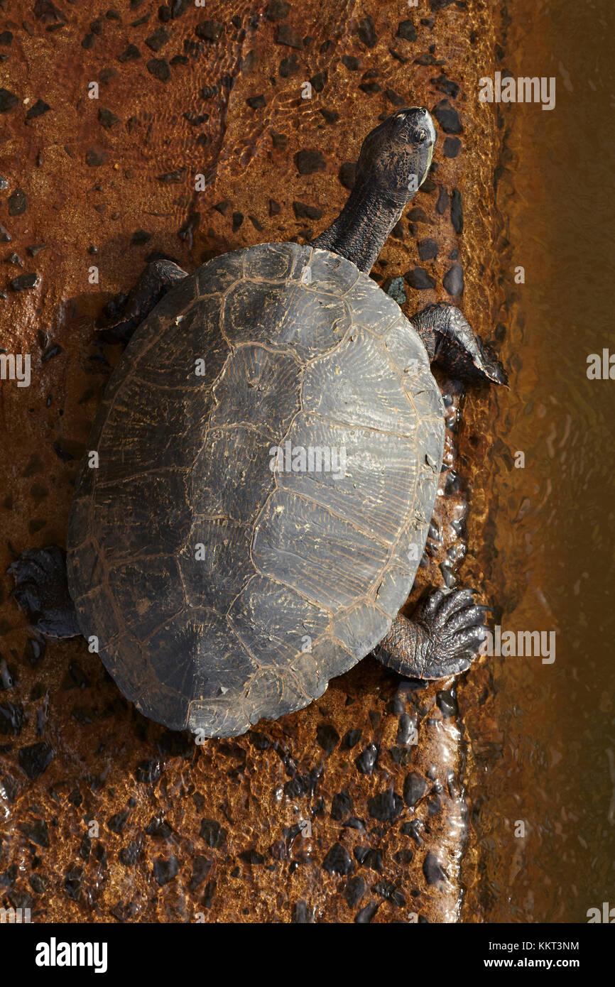 Tortoise, Iguazu Falls, Argentina, South America Stock Photo