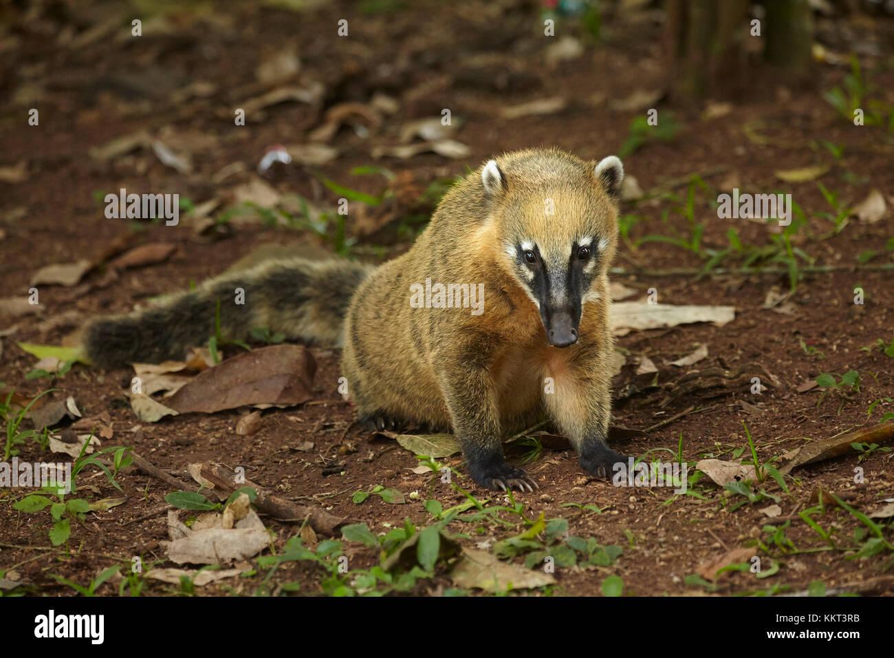 South American coati (Nasua nasua), Iguazu Falls, Argentina, South America Stock Photo
