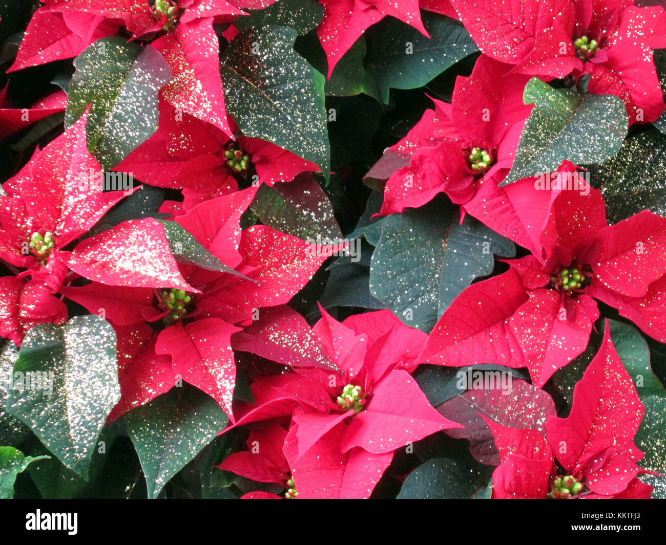 poinsettia flower, christmas star flower, red and green, close up ...