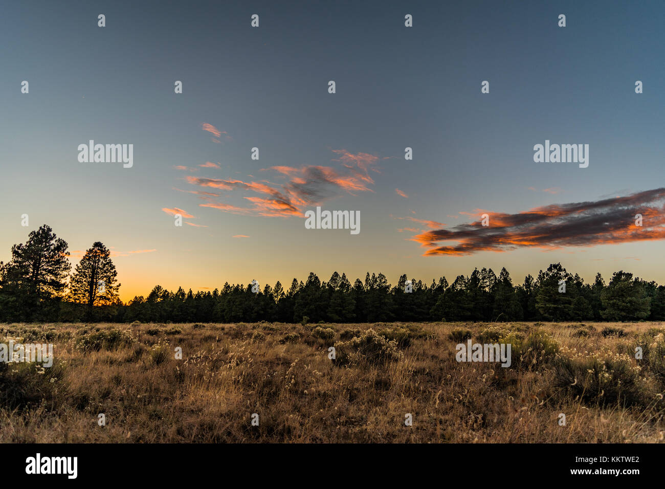 Pine forest in Arizona amidst a low sunset. - Stock Image