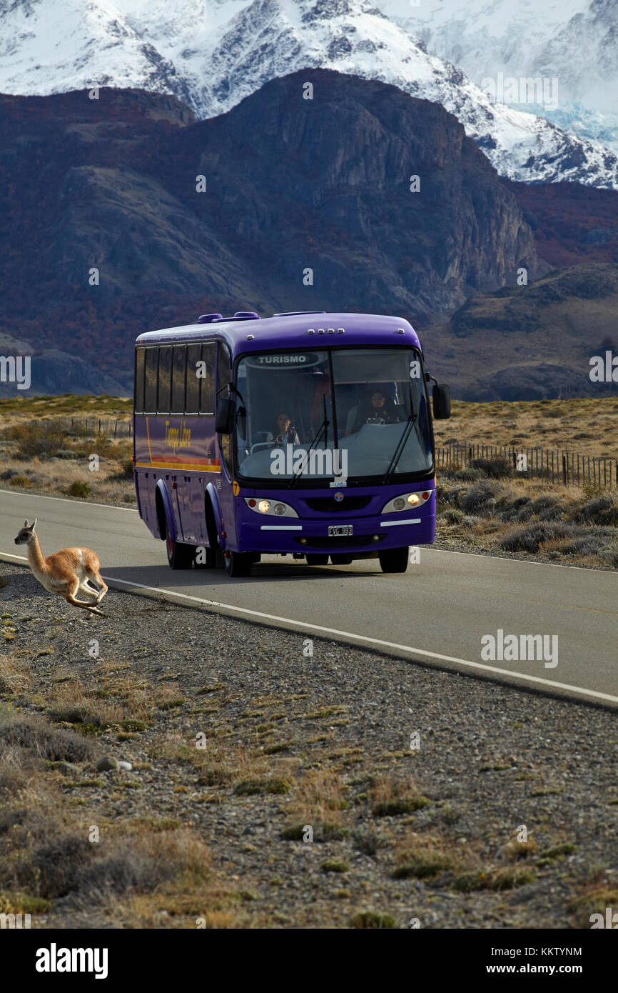 Guanaco running from bus on road from El Chalten, Patagonia, Argentina, South America - Stock Image