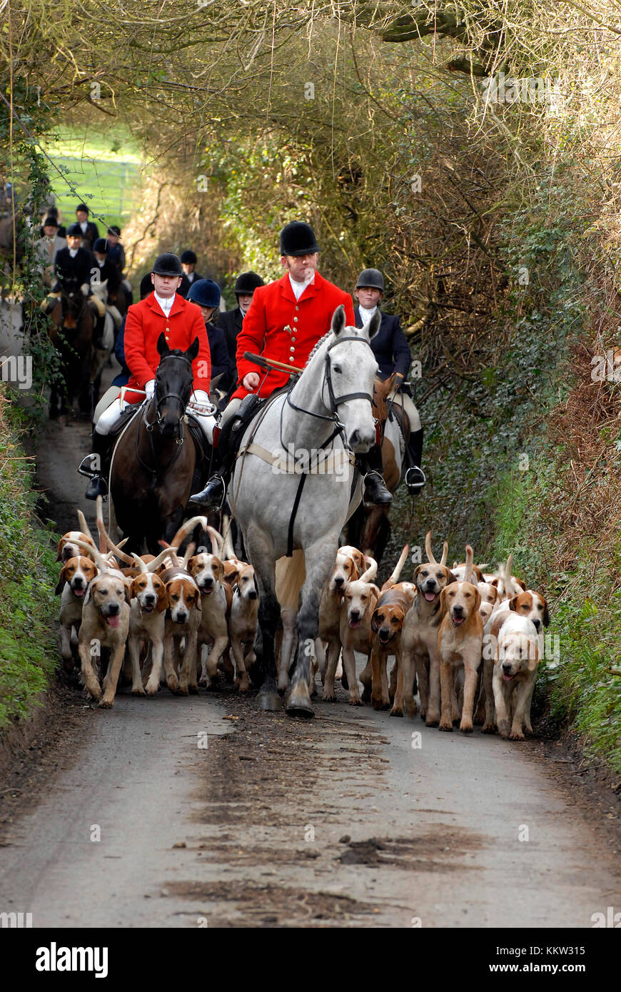 a traditional british countryside fox hunt with hounds being led by a huntsman wearing a red coat on a country lane. - Stock Image