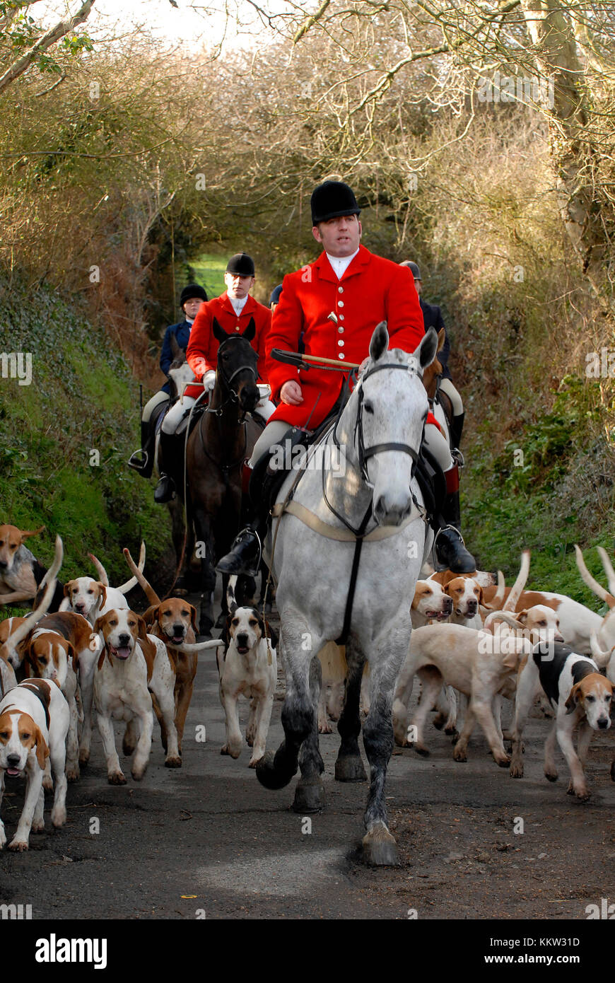 A huntsman dressed in a red jacket leading a pack of hounds a the local village hunt down a green wooded country - Stock Image