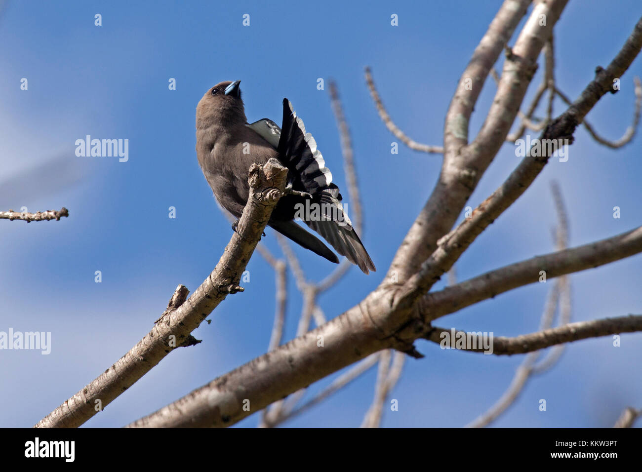 Dusky woodswallow fanning tail perched on branch of tree in Picton NSW Australia - Stock Image