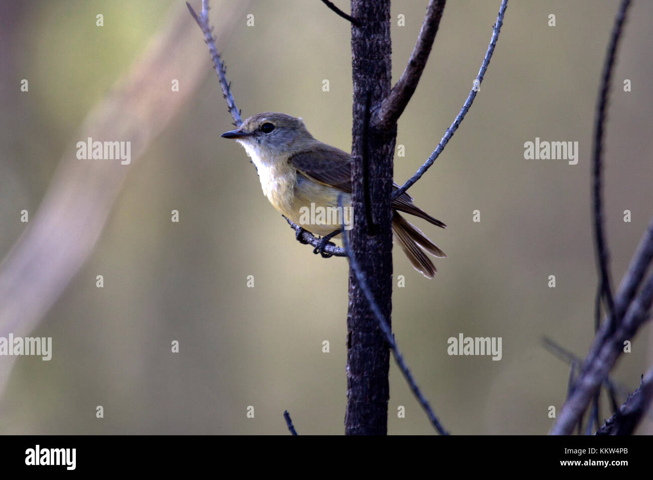 Grey whistler subspecies peninsulae perched in tree in Queensland Australia - Stock Image