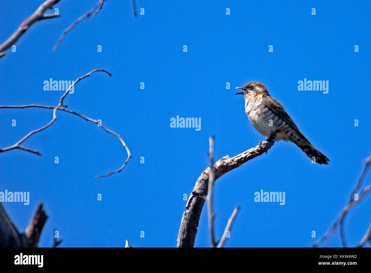 Horsefields bronze cuckoo perched on branch with lovely blue sky background in NSW Australia - Stock Image