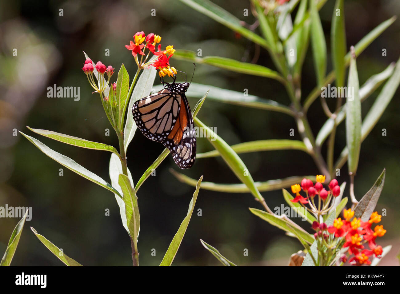 Monarch butterfly feeding on flowers in Queensland Australia - Stock Image