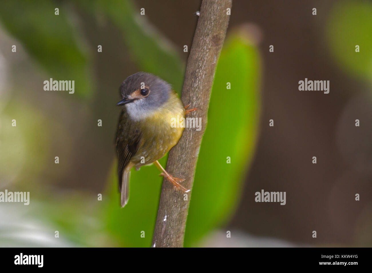 Pale yellow robin subspecies nana clinging to branch in woodland. Queensland Australia - Stock Image