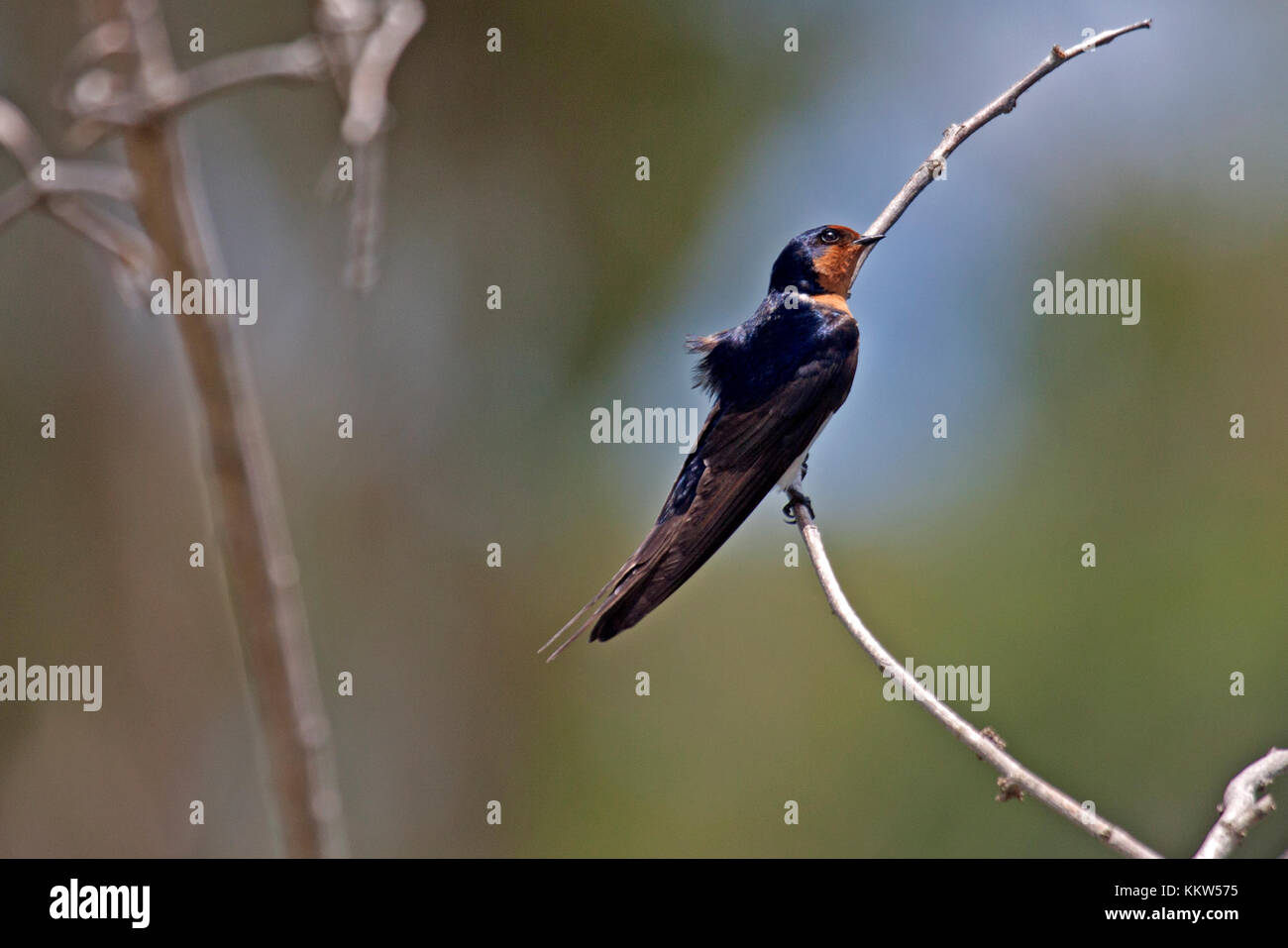 Welcome swallow perched on thin branch in Queensland Australia - Stock Image