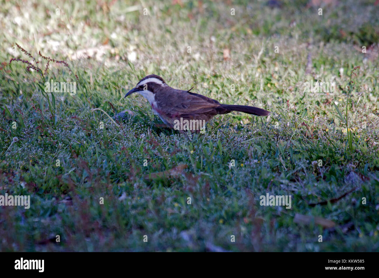 White browed babbler foraging in shade of nearby bushes in Grampians NP Victoria Australia - Stock Image