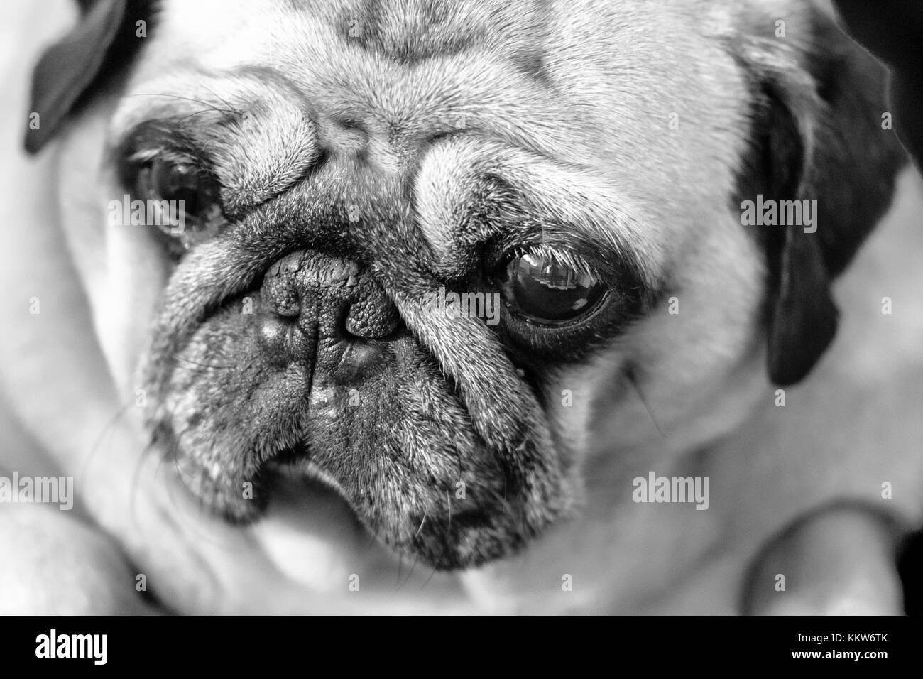 Beautiful, Beauty, Carlino, Close-up, Cute, Dog, Examining, Horizontal, Human Face, Lap Dog, Looking, Piccolo, Pug, - Stock Image
