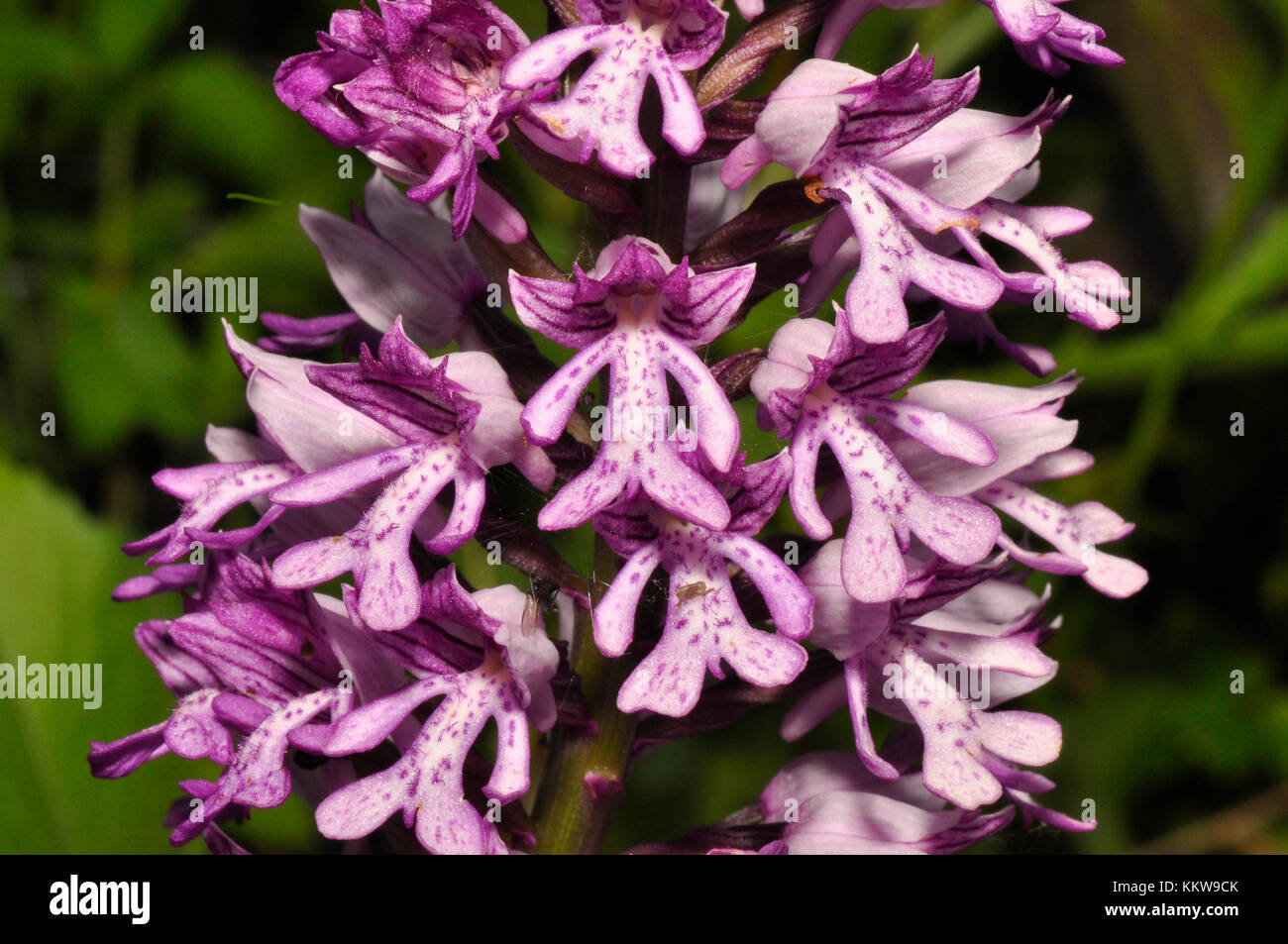 Military Orchid, Orchis militaris,rare,close up, Buckinghamshire, UK - Stock Image
