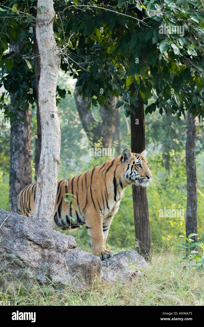 Tiger cub standing on a rocky edge inside pench national park during wildlife safari Stock Photo