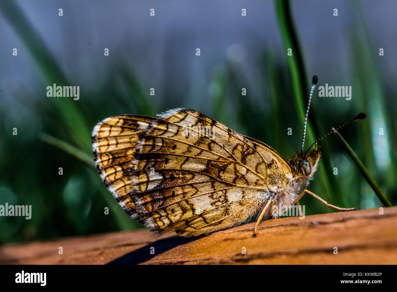 Macro photo of a moth butterfly on a piece of wood in a grass field. - Stock Image