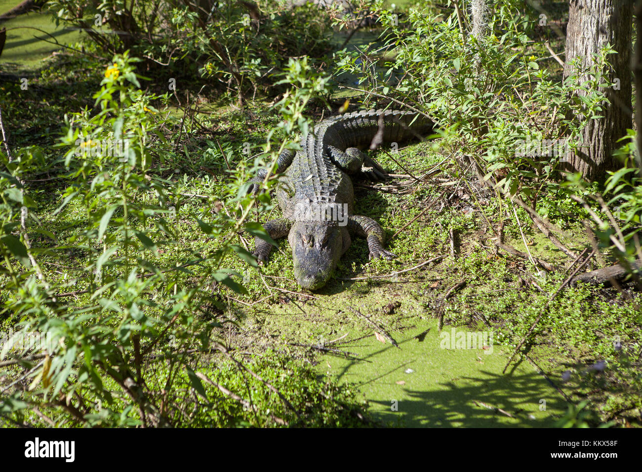 Alligators at Jungle Adventures Wildlife Park,Christmas, Florida - Stock Image