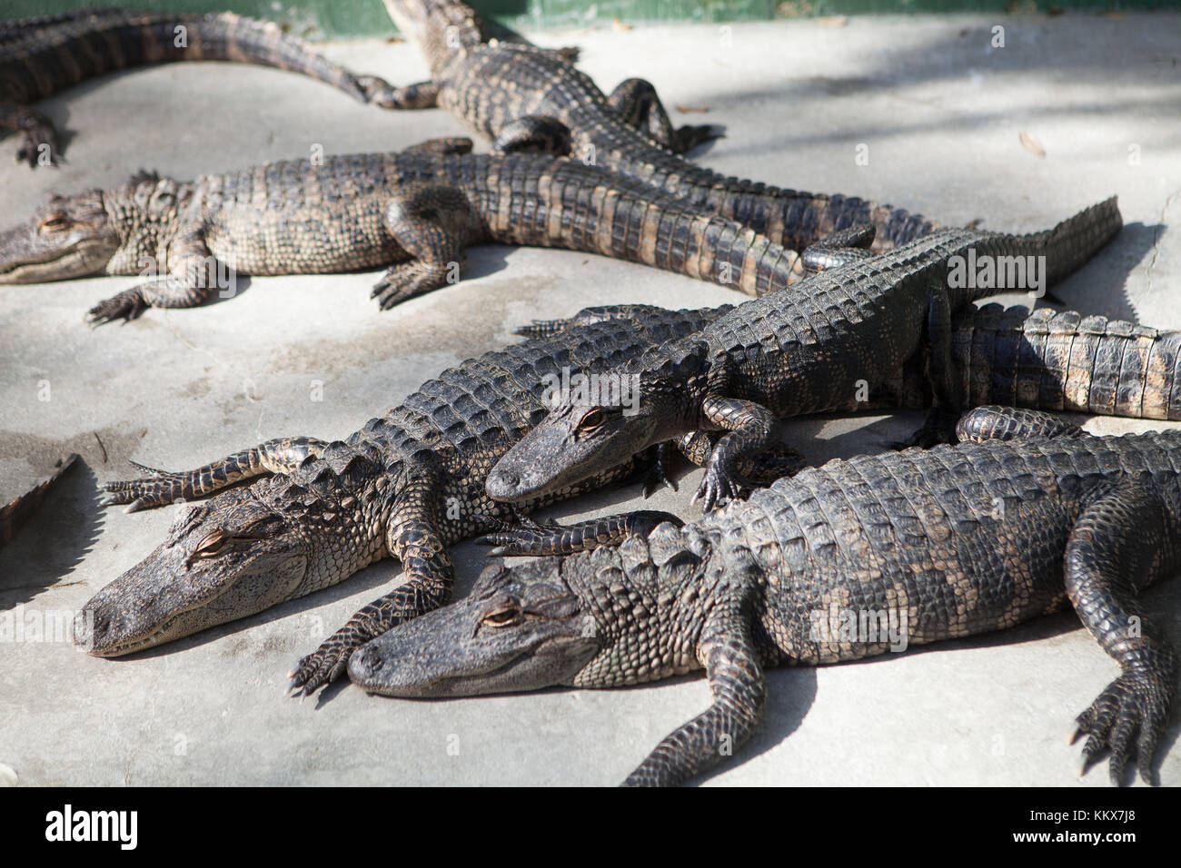 Young alligators in captivity at Jungle Adventures Wildlife Park, Christmas, Florida - Stock Image
