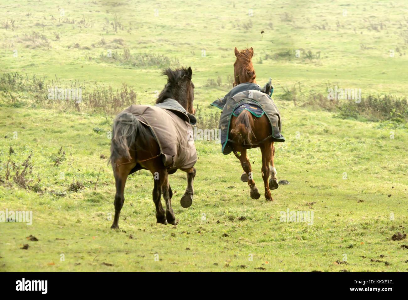 Burton Lazars, UK. 2nd Dec, 2017. UK Weather. Pablos animal sanctuary resuce horses run and enjoy open meadow grass - Stock Image