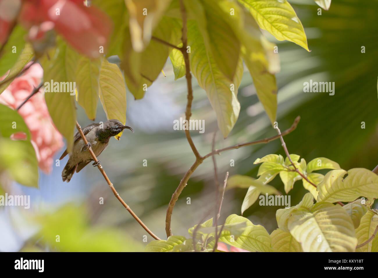 Hummingbird - Seychelles - Africa - Stock Image