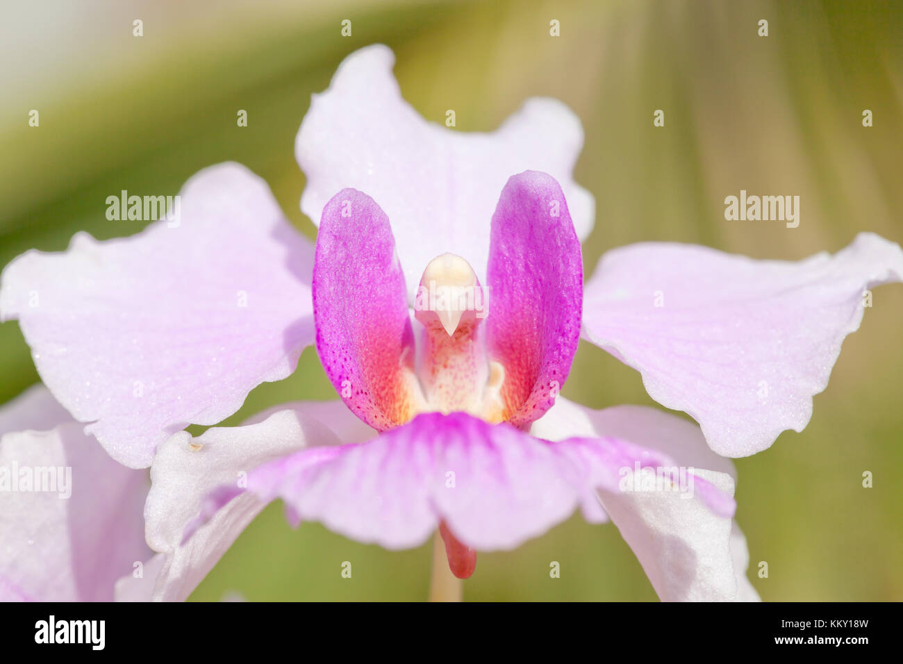 Orchid blossom - Seychelles - Africa - Stock Image