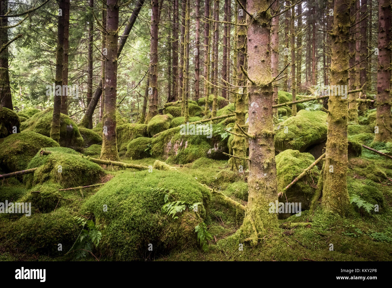 dark scary wet spruce tree forest, green background - Stock Image