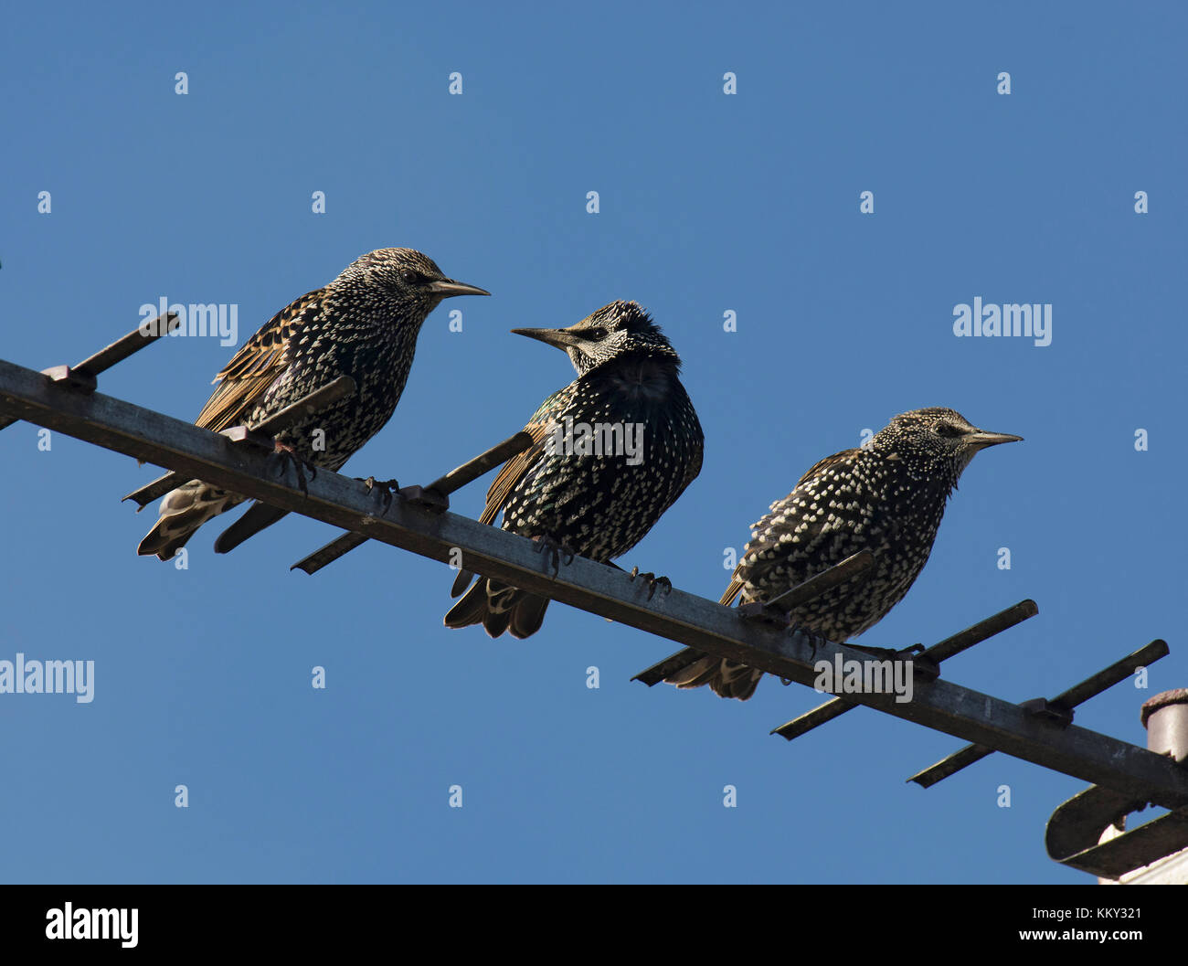 Three Common Starling, sturnus vulgaris, perched on television aerial, Lancashire, UK - Stock Image