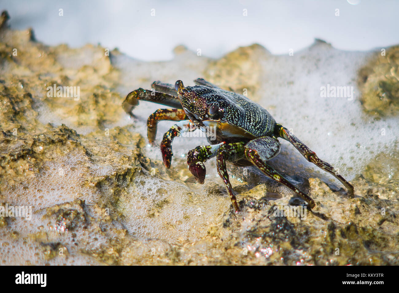 Crab trying to make it to its feeding grounds. It's a dangerous gauntlet they have to run few times every day, - Stock Image