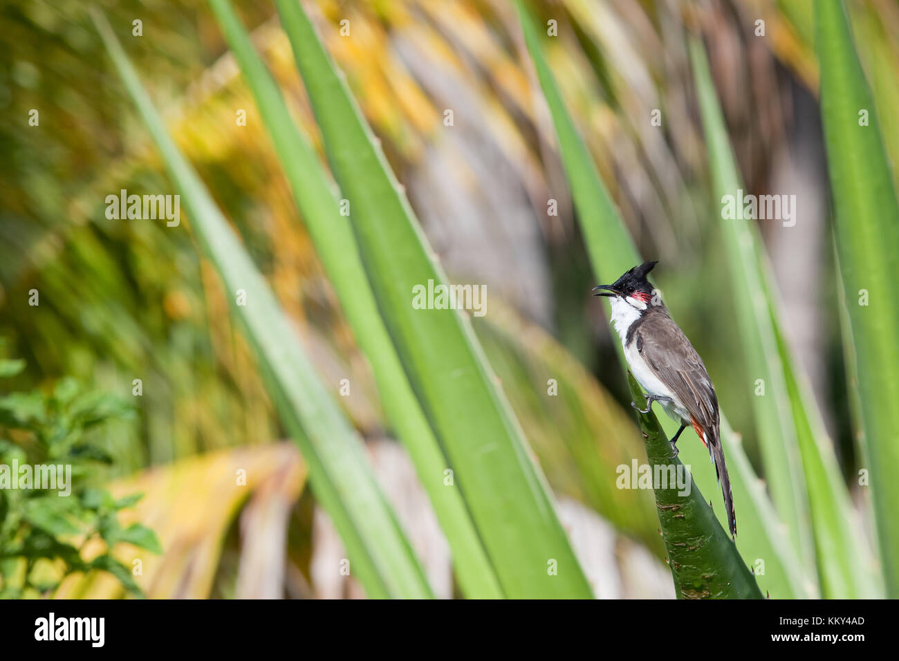 Mauritius - Africa - Chirping bird on a green leave - Stock Image