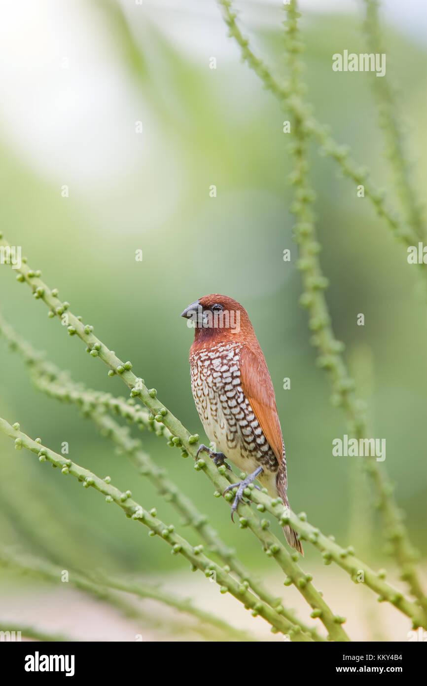 Mauritius - Africa - Little bird on a branch - Stock Image