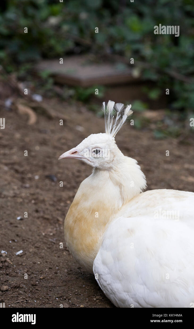 Pavo Cristatus. White peafowl. Stock Photo