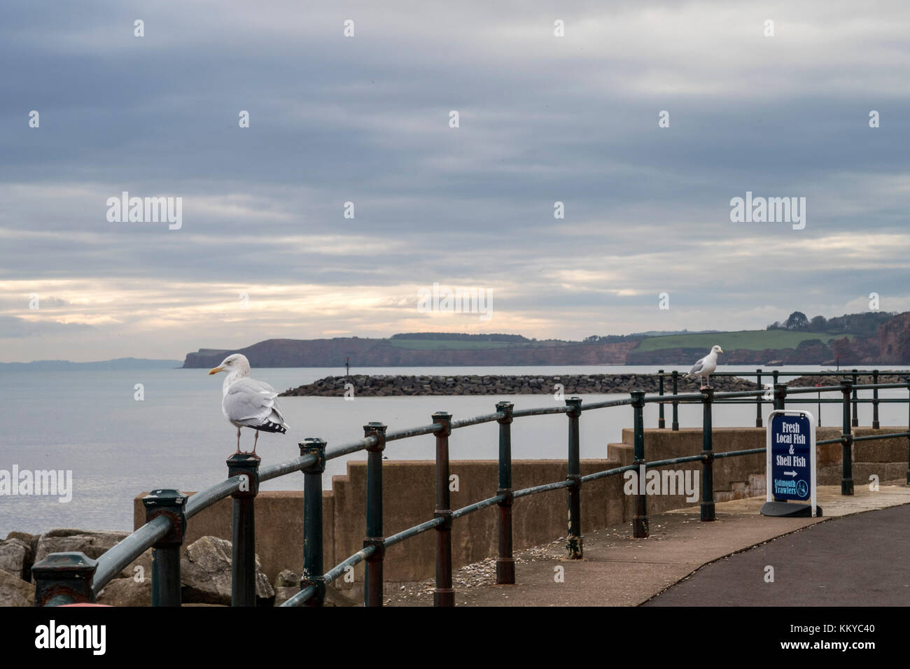 Seagulls (Laridae) on the seafront at Sidmouth, Devon, where it is illegal to feed the birds. - Stock Image