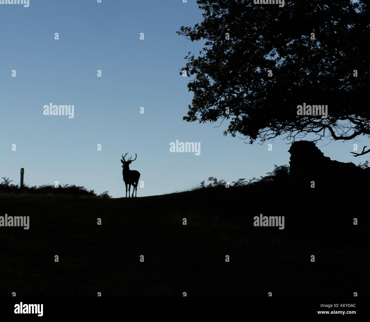 Free roaming silhouetted deer at the country park - Stock Image