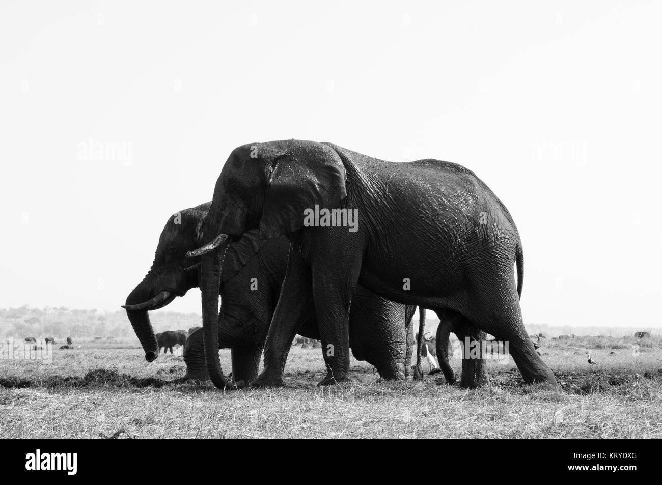Elephants (Loxodonta africana), Chobe National Park, Botswana. - Stock Image