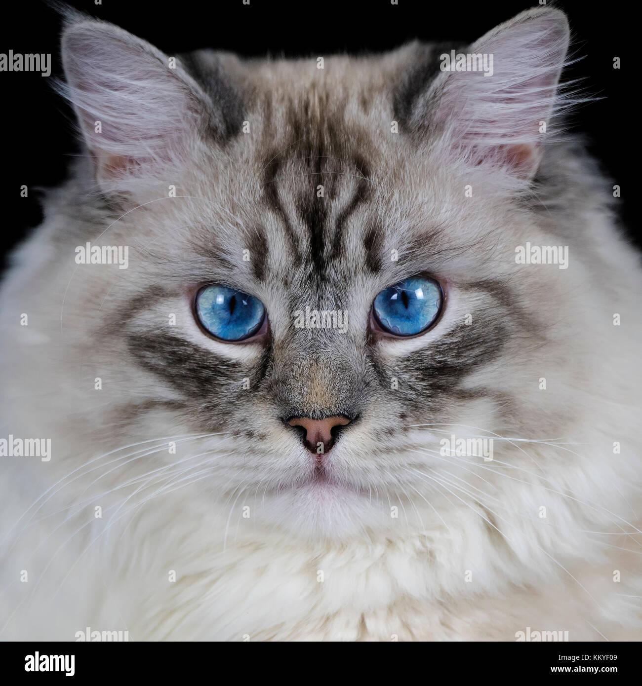 Funny White Fluffy Blue Eyed Cat Isolated On Black Stock Photo Alamy