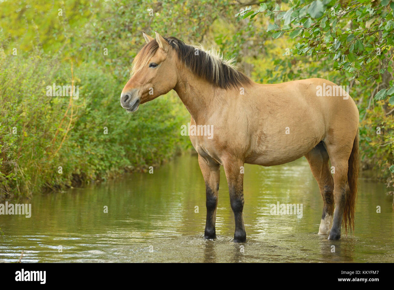 A Norwegian Fjord Horse High Resolution Stock Photography And Images Alamy