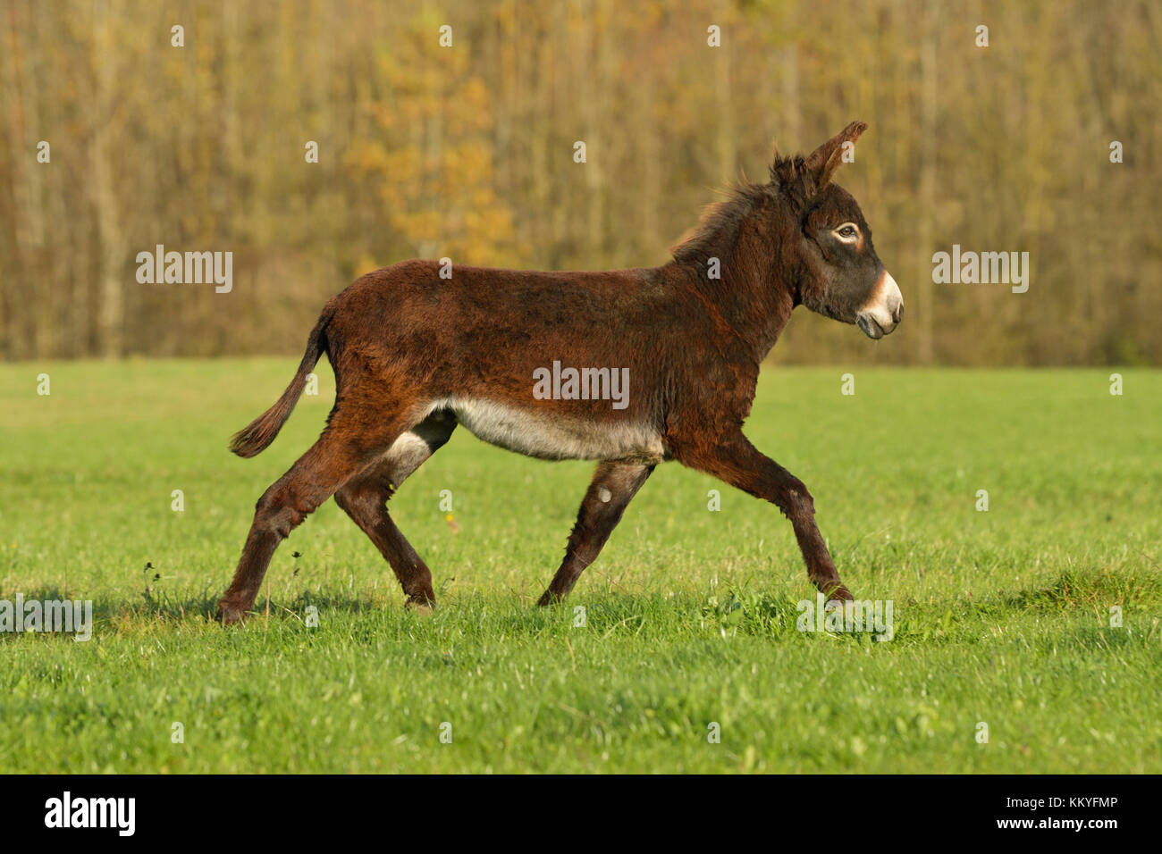 Zwergesel im Herbst auf der Weide / Donkey trotting in the field in autumn - Stock Image
