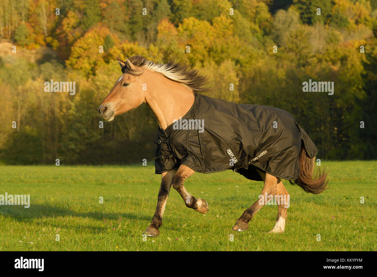 Fjord horse wearing a rug cantering in the field in autumn - Stock Image
