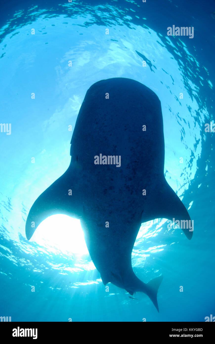 Whale shark, Rhincodon typus.  Yucatán Peninsula, Mexico, Caribbean Sea - Stock Image