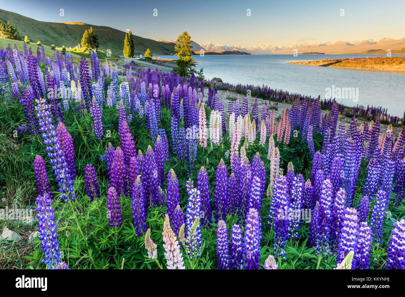 The lupins at Lake Tekapo, Mackenzie Country, New Zealand. Stock Photo