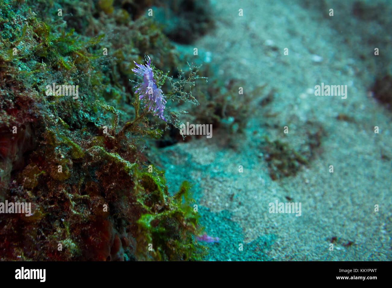 flabellina, invertebrate, - Stock Image