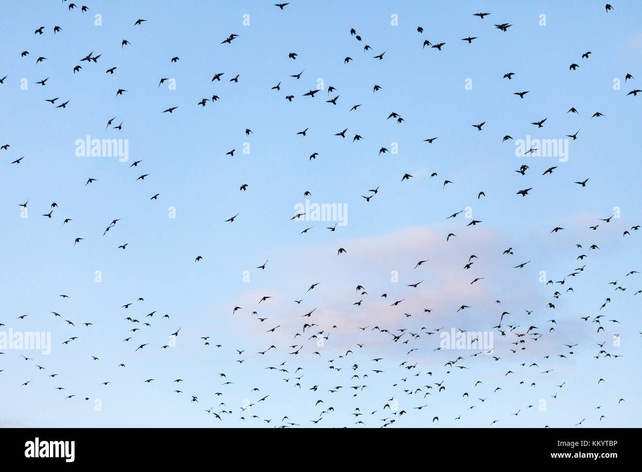 Hundreds of starlings sturnus vulgaris fill the sky - Stock Image