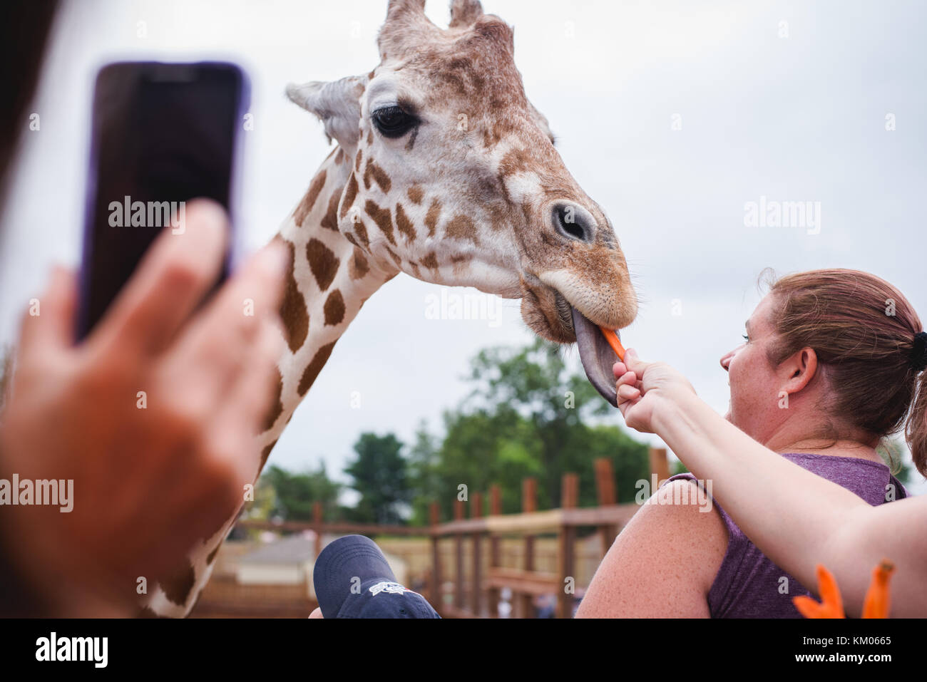 April the Giraffe visits with people at Animal Adventure Park in Harpursville, NY - Stock Image