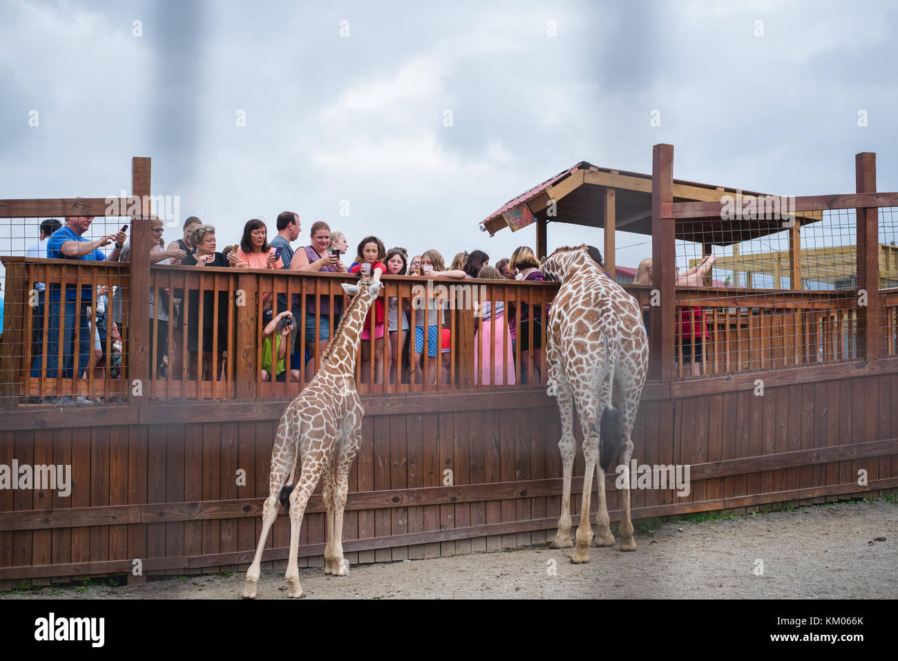 April the Giraffe and her son Tajiri visit with people at Animal Adventure Park in Harpursville, NY - Stock Image