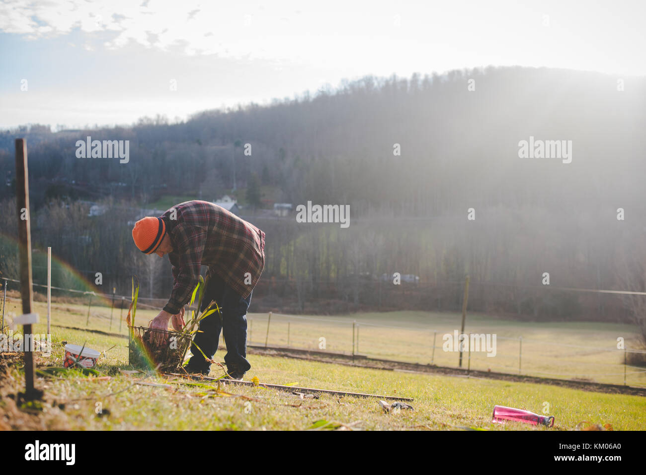 A man bent over a basket of flower bulbs. - Stock Image