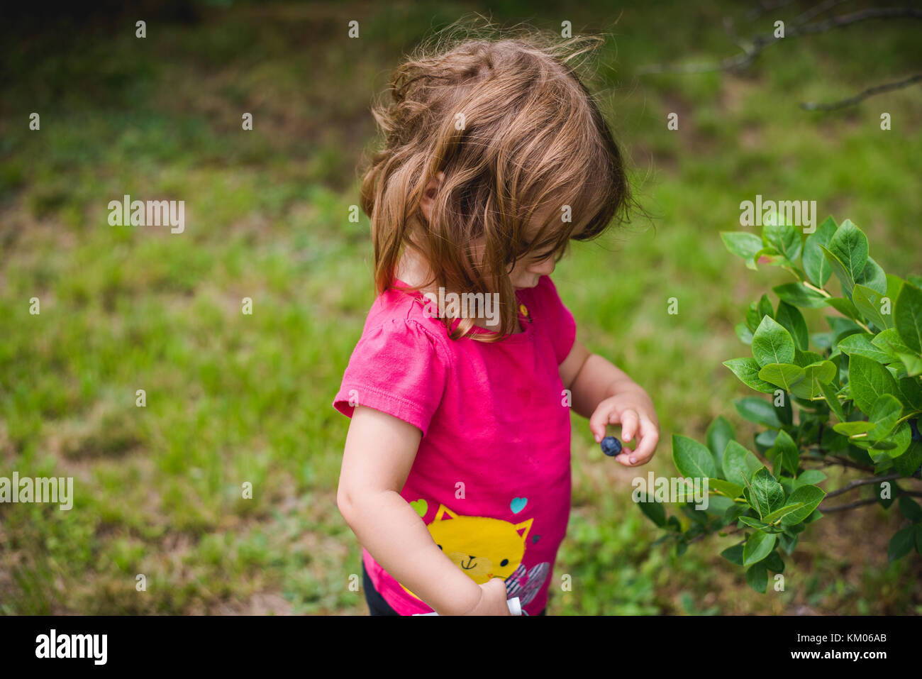 A young girl holds a blueberry next to a blueberry bush - Stock Image