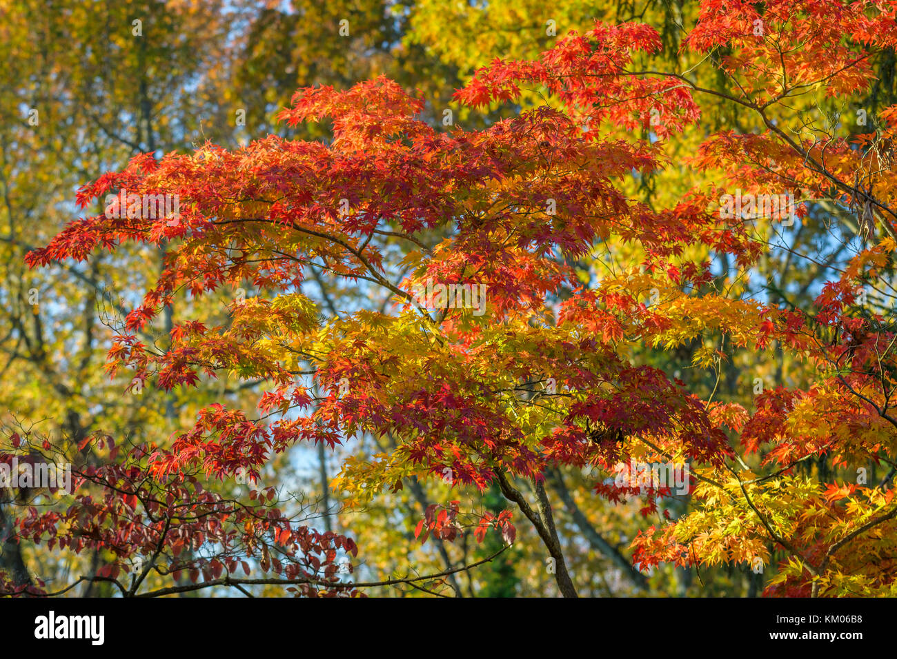 Maple leaves changing color durring the autumn season. - Stock Image