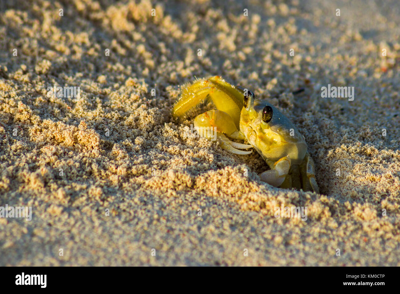 An inquisitive Ghost crab emerges from its hole in the sand to forage for food during sunrise on the beach of Guardalavaca - Stock Image