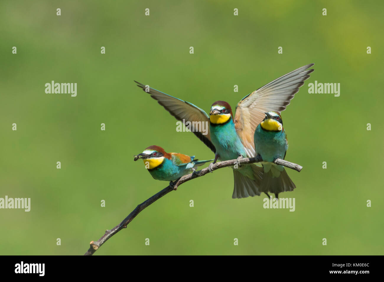 Bienenfresser, European bee eater, Merops apiaster Stock Photo