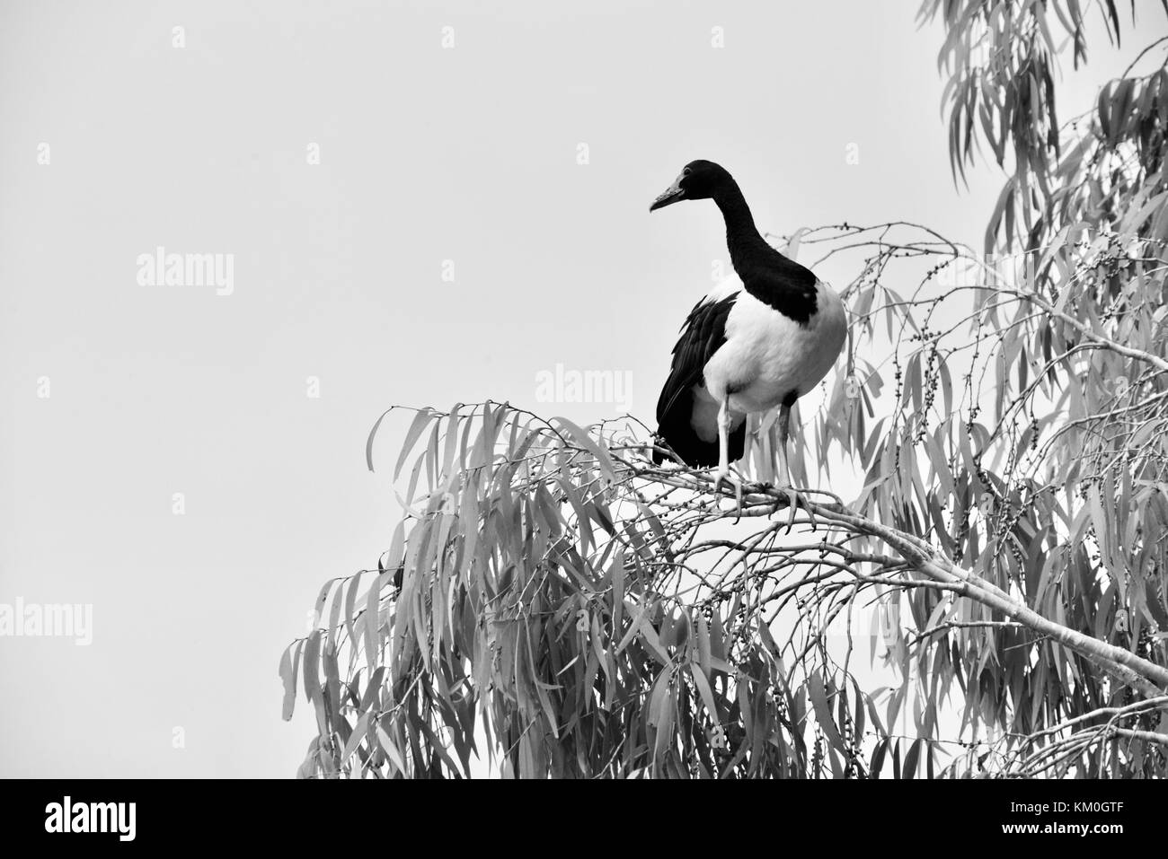 Magpie goose (Anseranas semipalmata) perched in a eucalypt above the Ross River in the early morning, Townsville, - Stock Image
