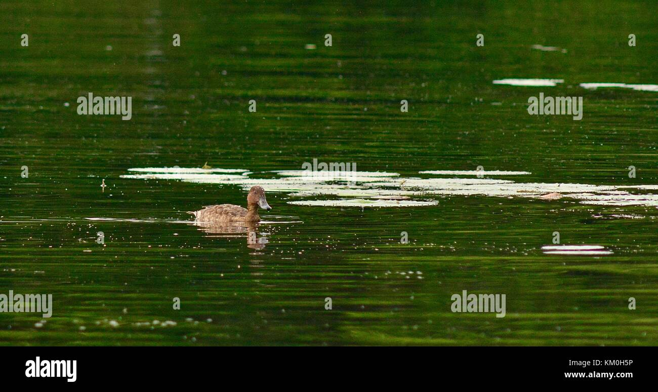 Female Hardhead (Aythya australis) duck with water beads as remnants from its recent dive for food, Ross River, - Stock Image
